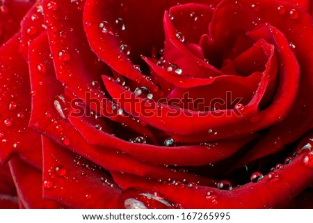 close up of red rose - stock photo