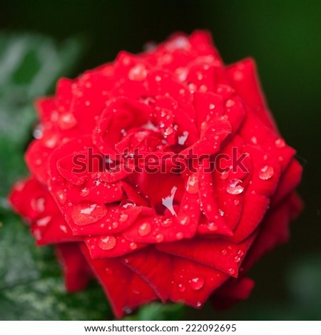 Close up of red rose and red heart. Very shallow DOF. - stock photo