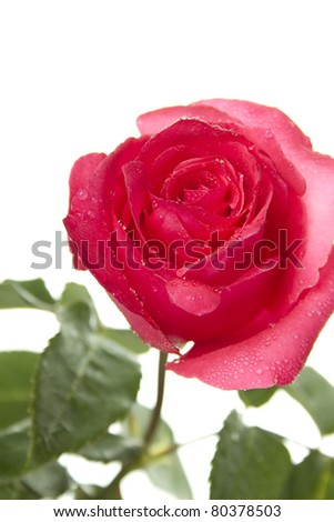 Close-up of red rose isolated on white - stock photo
