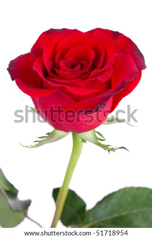 Close up of red rose on white background - stock photo