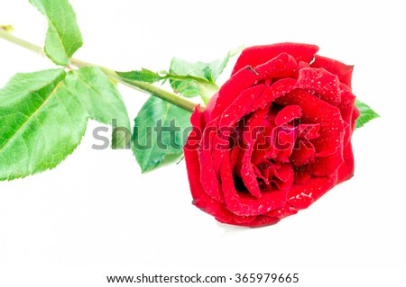 Close up of red rose on white background. There are some water drop on the rose. Selective focus. - stock photo