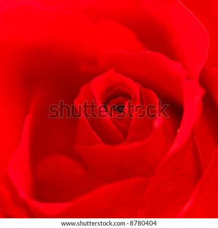 Close up of red rose showing petals - stock photo