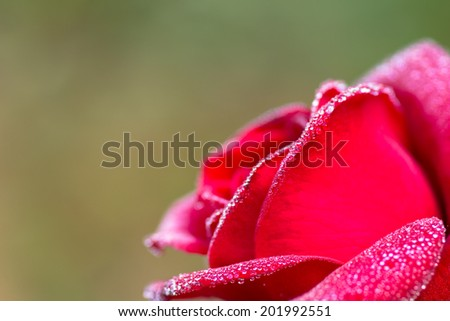 close-up of red rose with water drops (shallow DOF) - stock photo