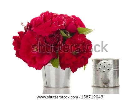 Close-up of red roses in a bucket of watering can. Isolated