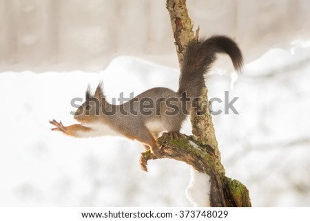close up of red squirrel in tree with snow - stock photo