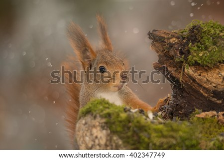 close up of red squirrel standing behind tree trunk with moss - stock photo