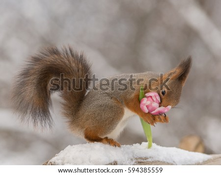 close up of red squirrel standing on snow holding and smelling  a tulip