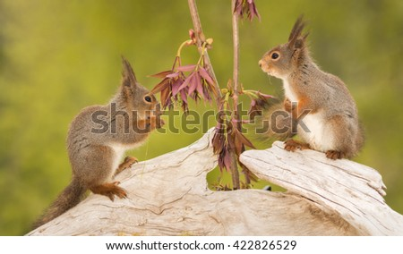 close up of red squirrels standing on moss with ferns looking at the other - stock photo