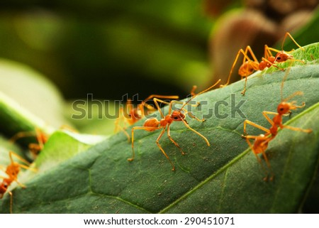 Close up of Red weaver ants (oecophylla smaragdina) surrounding their nest - stock photo