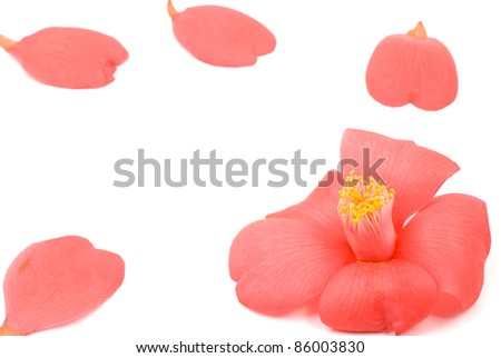 Close up of Red wild camellia flower and petals on a white background - stock photo