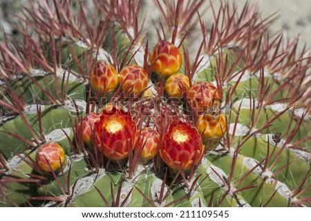 close-up of reddish-orange blooms on green barrel cactus - stock photo