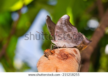 Close up of Redspot Duke (Dophla evelina) butterfly feeding on fruit, nature background