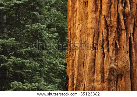 close up of redwood tree in forest with green trees in background - stock photo