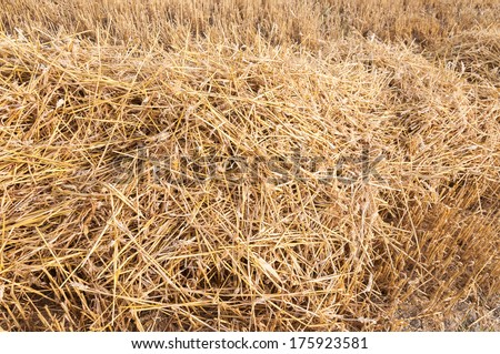 Close-up of remaining straw on the stubble field immediately after the combine harvesting of the wheat. - stock photo