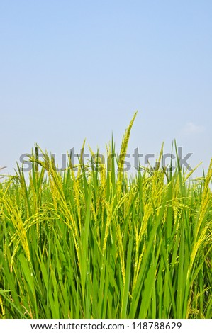 close up of rice field,Thailand