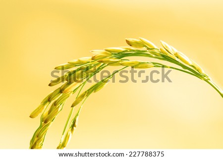 Close up of Rice in Field - stock photo