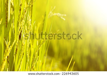 Close Up of Rice in Field for Harvest - stock photo