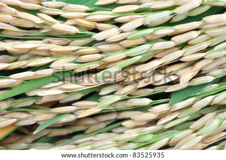 Close up of rice seed or paddy rice on rice plant - stock photo