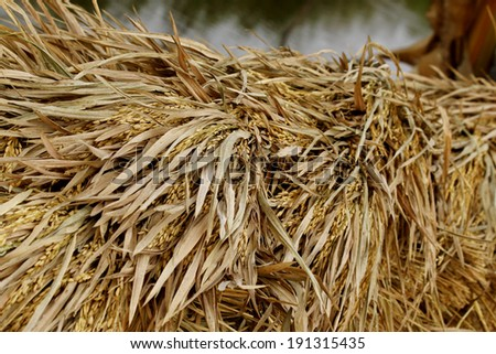 close-up of rice straw and rice grain in rice field. - stock photo