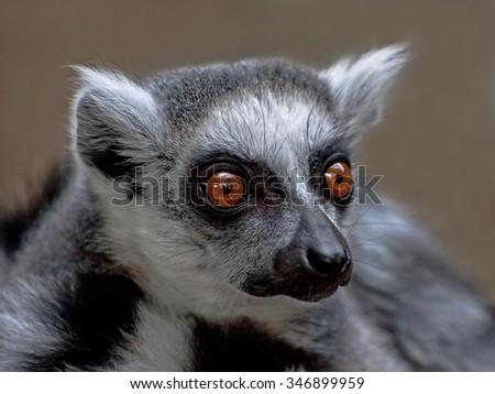 Close-up of ring-tailed lemur (Lemur catta) - stock photo