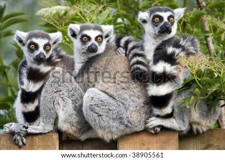 Close up of Ring Tailed Lemur (Lemur catta) - stock photo