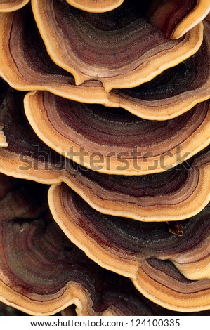 Close up of ringed polypore fungus growing on the side of a tree - stock photo