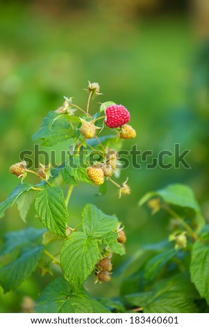 Close up of ripe and unripe fruits on raspberry bush