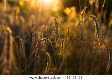 Close up of ripe barley spikes in a field at sunset, warm yellow backlight, shallow depth of field - stock photo