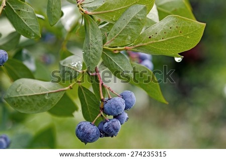 close up of ripe blueberries on blueberry bush with raindrop - stock photo