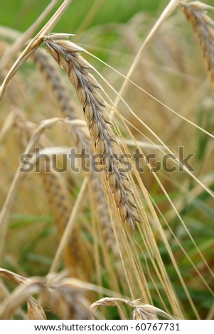 Close-up of ripe ear. Selective focus. - stock photo