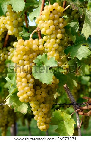 Close-up of ripe golden grapes hanging in the sunlight - stock photo