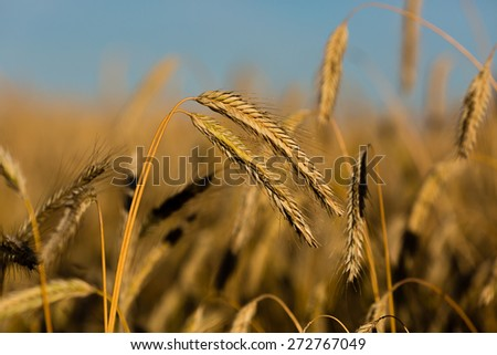 Close-up of ripe grain ready for harvesting now. - stock photo