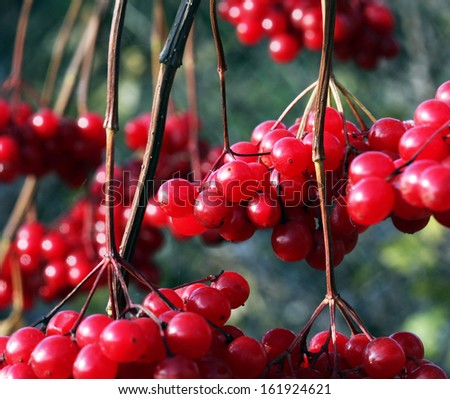 close-up of ripe red viburnum clusters on the branches in the autumn garden