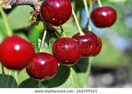 close-up of ripe sweet cherry on a tree in the garden - stock photo