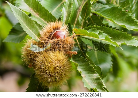 close up of ripe sweet chestnuts - stock photo