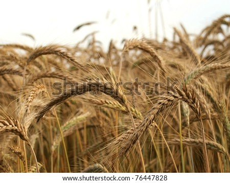 close up of ripe wheat - stock photo