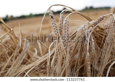Close up of ripe wheat ears - stock photo