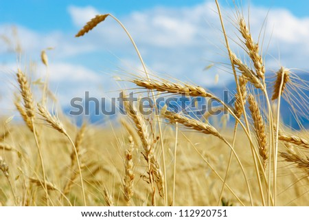 Close up of ripe wheat ears against beautiful sky with clouds. - stock photo