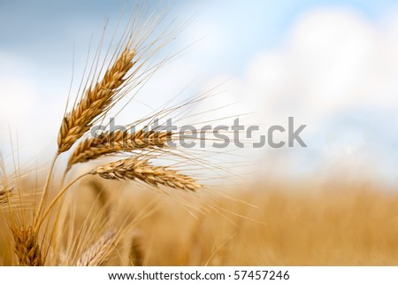 Close up of ripe wheat ears against beautiful sky with clouds. Selective focus. - stock photo
