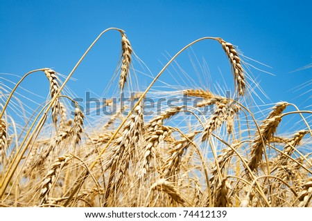 close up of ripe wheat ears against sky - stock photo