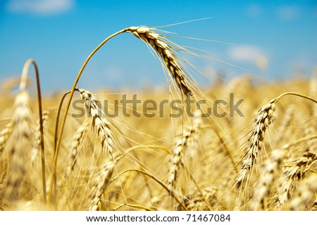 close up of ripe wheat ears against sky. soft focus - stock photo