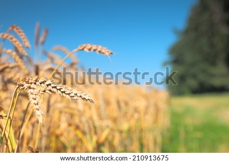 Close up of ripe wheat ears on the field. Selective focus. - stock photo