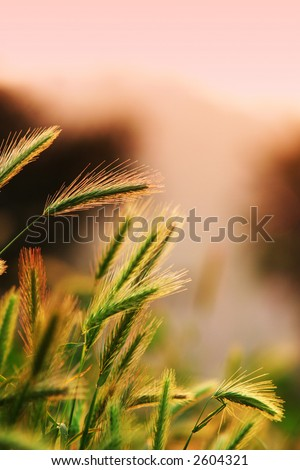 Close up of ripening rye ears. Shallow DOF. Secale cereale L. Southern California, USA - stock photo