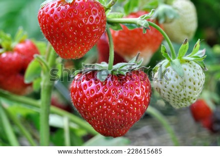 close-up of ripening strawberry in the vegetable garden - stock photo