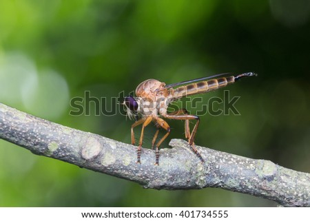Close up of robber fly (Asilidae) or assassin fly waiting in ambush for its prey , Asilidae, robber fly  - stock photo