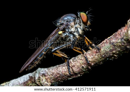 Close up of robber fly , Close up of robber fly (Asilidae) or assassin fly waiting in ambush for its prey , Asilidae, robber fly - stock photo