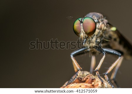 Close up of robber fly with prey , Close up of robber fly (Asilidae) or assassin fly waiting in ambush for its prey , Asilidae, robber fly - stock photo