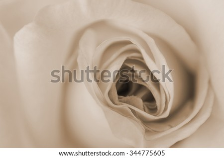 Close up of rose in monochrome. - stock photo