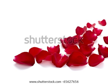close up of  rose petals  on white background - stock photo