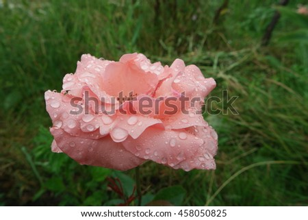 Close up of rose with drops of water. Beautiful flower after the rain - stock photo